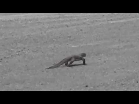 Biawak - Bayawak - Menyawak - Nyambik - Berekai - Monitor lizard - Goanna - Varanidae