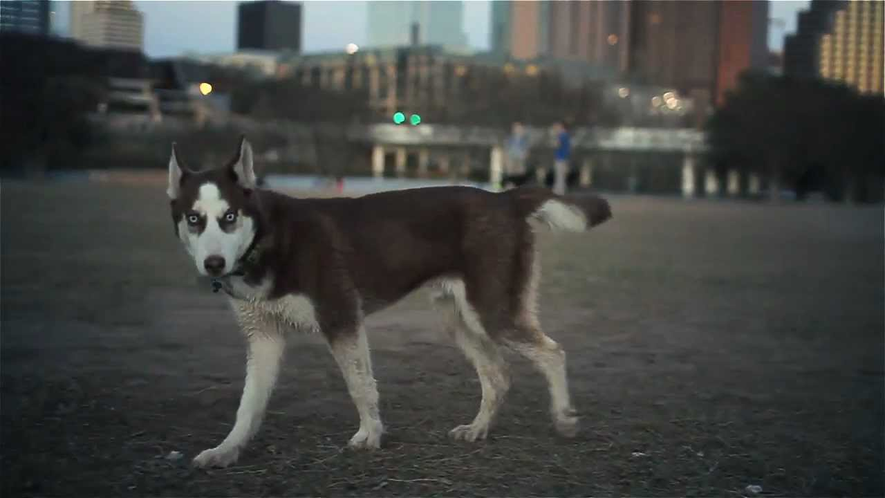 Siberian Husky With Big Blue Eyes The Daily Puppy Youtube