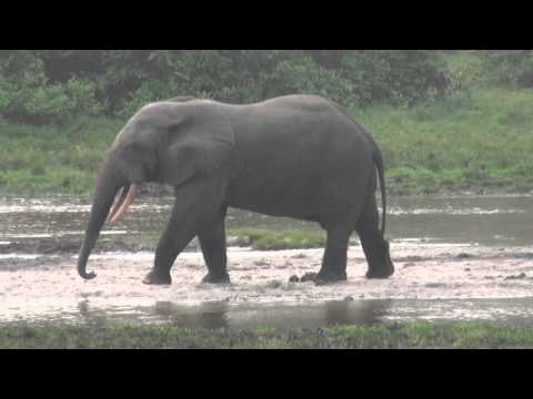 Lango Camp, Republic of Congo: Forest Elephant, Forest Buffalo