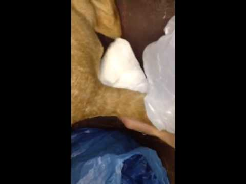pulling a rubber glove out of a dogs ass