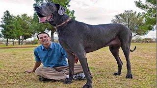 САМАЯ БОЛЬШАЯ СОБАКА ВО ВСЕМ МИРЕ - VERY BIG DOG