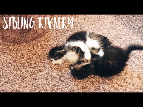 Cute Kittens Playing and Wrestling Together