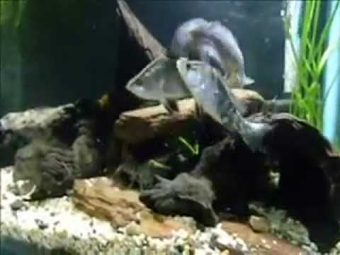 Australian Native Fish Aquarium