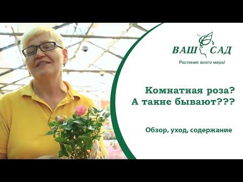 Бывают ли комнатные розы? Обзор, уход, содержание в квартире. Ваш сад