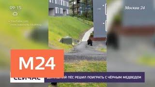 Медведь пришел в жилой район американского города и поиграл с собакой - Москва 24