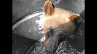HUNTERS FIND BEAR STUCK IN BARREL!
