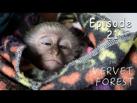 Baby Monkey Attacked By Eagles - Rescued By Animal Sanctuary -  Ep. 21