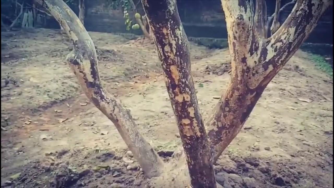 Tư vấn xử lý bệnh xì mủ trên cây bưởi tại nhà bác Lục ở huyện phúc thọ hà nội | Lão Nông Làm Vườn