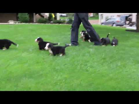Berrnese Mt  Dog Puppies for Sale Sam King
