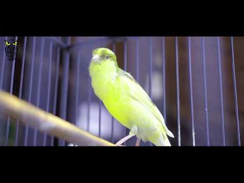 Download Lagu SUARA BURUNG : Kenari Murah Gacor Bisa Juara Nasional Pakai EBOD VIT