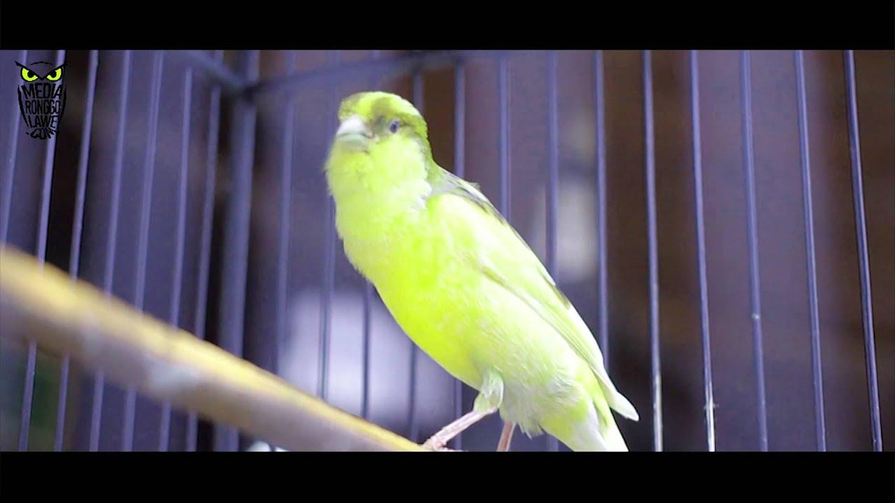 Artikel Terkait Download Suara Kicau Burung Kenari Juara Nasional Mp3