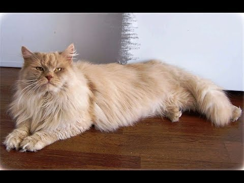 Siberian Cats - A beautiful Pet For Allergy Sufferers