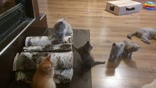 Hodowla kotów brytyjskich APOGEUM * PL