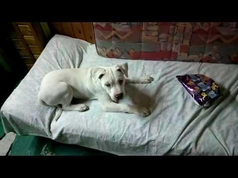 White puppy pitbull afraid a bag of crisps