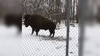 Happiest Bison in the World - Very funny!