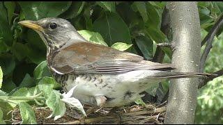 4К Blackbird on nest online. Дрозд на гнезде онлайн