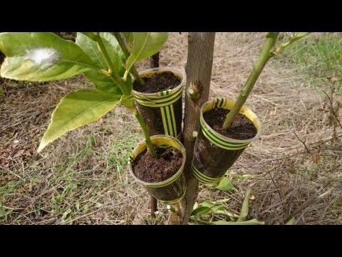 Como hacer un acodo aereo al limonero youtube for Planta ornamental que se reproduzca por esquejes