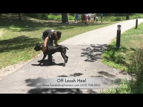 Dog Training: 1 yr old Cane Corso, Tessa- Before and After Board and Train