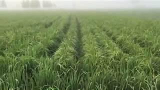 Basmati 1509 Dry Plantation || Jhajj Agri Farm Chaunta ||