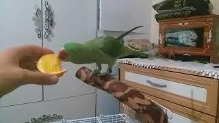 Papağan ve Muhabbet kuşu eğitimi (Alexander, İskender, Sultan, Senegal, Jako, Kakadu)
