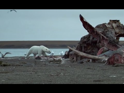 Polar Bears Feast On Dead Whale  - Wild Alaska - BBC