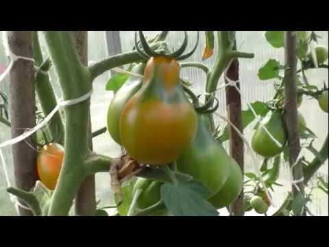 Томат оранжевого цвета для супер соления и маринования