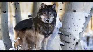 becixmat - Relax 2275 - Vlky - Wolves - 2K (Pan Flute)