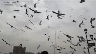 نوارس بغداد  / جسر الشهداء