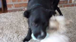West Coast Dog Rescue-max And Penny Playing At Foster Home In Vancouver, Bc