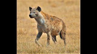 Hiena - sawannowy czyściciel - Amboseli National Park - Kenia- Afryka