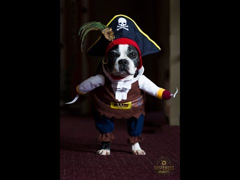 Halloween Dog Costume Boston Terrier Pirate Medium Size 22 lb dog