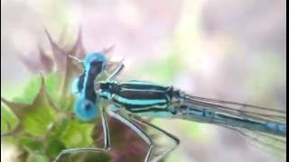 СТРЕКОЗА МакроСъёмка: видео - dragonfly