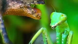 Lizard vs Mantis
