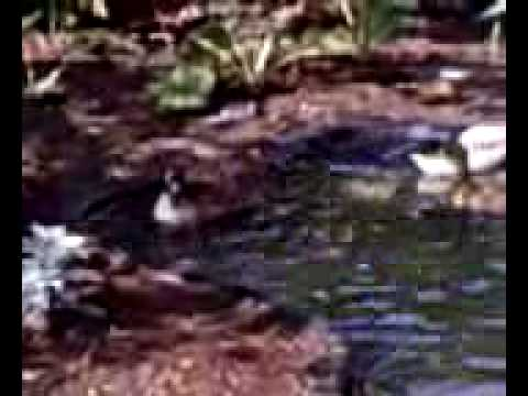 Brittain Academy | Pond 4 ducks | Pets of Chris's