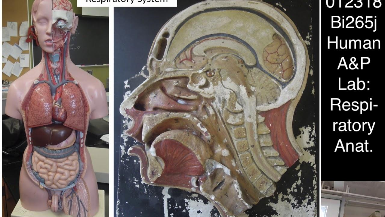 Lab 7: (012318) Respiratory System Anatomy and Histology - YouTube