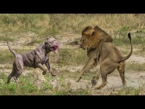 WHO'S THE KING ? : Pitbull is a lion ►► the most powerful dogs | wild animal Attacks | Lion