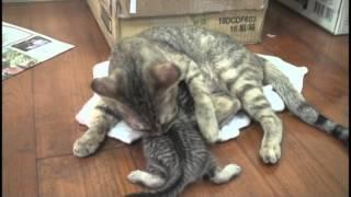 偉大的母貓【喵喵】滿月全紀錄