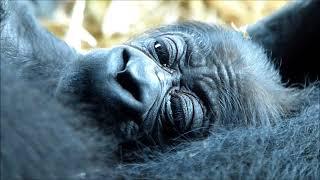 上野動物園で2017年10月9日にゴリラの赤ちゃんが誕生♪ 生後1日の赤ちゃ...