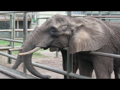 Afrikanische Elefanten Fütterung / African Elephant Feedingtime : Serengeti Park Hodenhagen