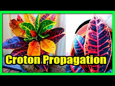 How to Grow Crotons From Cuttings in Pots: Croton Propagation Techniques