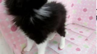 生年月日:2017/01/03 性別:♀ カラー:ブッラク&ホワイト.