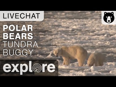 Polar Bear Population - Polar Bears International - Live Chat
