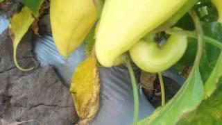 LS 1126 F1 семена перца сладкого (Lucky Seed )