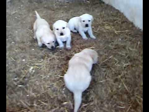 Cachorros labrador 1 mes youtube - Comida para cachorros de un mes ...