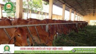 Kinh nghiệm nuôi bò thịt cho hiệu quả kinh tế cao | Kiến thức chăn nuôi bò