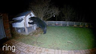 Giant Bear Tries to Break Into a Chicken Coop | RingTV