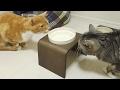 funny cat don't use new water bowl /  【猫 おもしろ】猫ズが水飲みを受け入れるまで