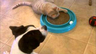 Boxer Pit Bull Mix Playing With Cat Toy - Prince Edward And Richard Parker