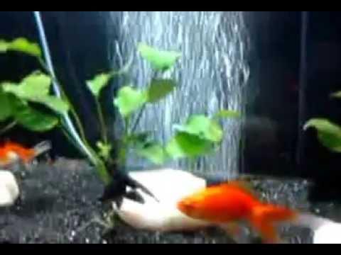 Goldfish Aquarium - YouTube