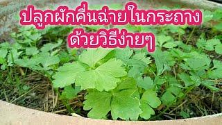 ปลูกผักคื่นฉ่ายในกระถาง ด้วยวิธีง่ายๆ How to grow vegetables in the pot in a simple way.